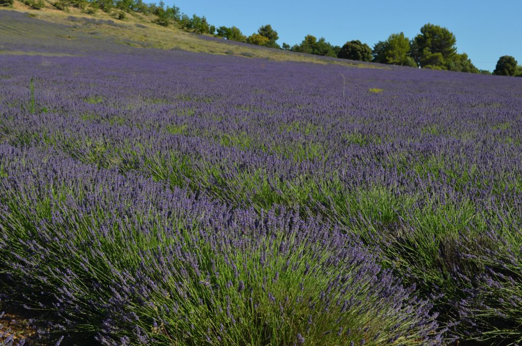 Fields of fragrant lavender entice visitors to Provence in the South of France every summer