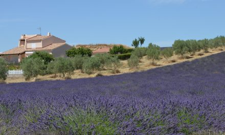 Visiting the Lavender Fields of Valensole in Provence