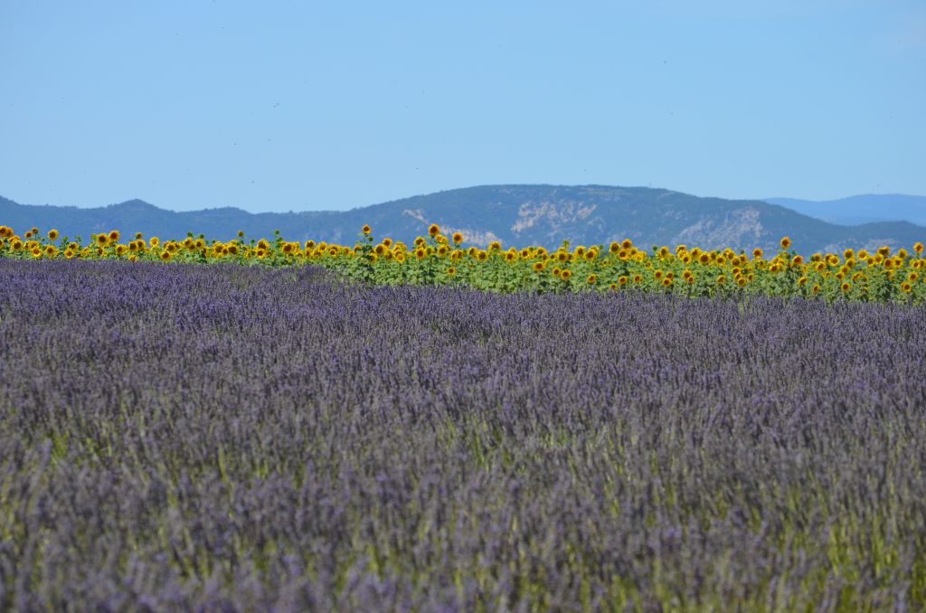 fields of swaying lavender side-by-side with dancing sunflowers