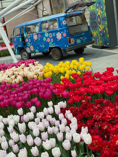 The world-famous Keukenhof Gardens in the Netherlands has been named one of the top flower gardens worth visiting by the Huffington Post. Europe-based travel influencer, Monique White, offers tips on how to best navigate and enjoy these spectacular gardens and surrounding flower fields. Photo credit: Monique White Keukenhof   Tulips   Netherlands   Holland   Netherlands itinerary   Netherlands Travel Guide   Holland Travel Guide   Holland Itinerary   Things to do in Holland   Netherlands Travel Tips   Holland Travel Tips   Amsterdam Travel Tips Things to do in Amsterdam   Amsterdam   Europe travel planning   travel   travel tips